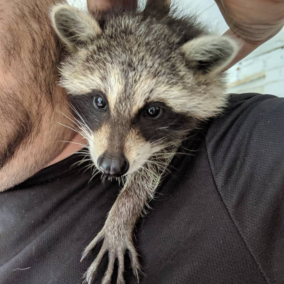 """Sohma G. Dawling on Instagram: """"One of my partner's favorite animals is the racoon. Has been adoring them since a child, but never has had the chance to get close to one,…"""""""